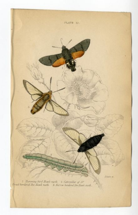 1836 MOTHS Print JARDINES Humming Bird Hawk BORDERED BEE Caterpillar ENGRAVED by William Lizars ANTIQUE Hand Colour